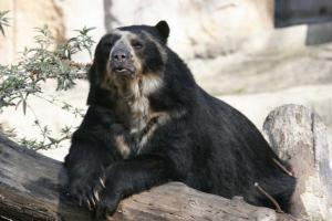 Spectacled Bear - Brillenbär