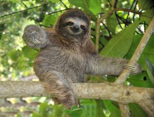 Southern two toed Sloth - Faultier