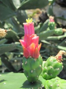 Grounding Opuntia