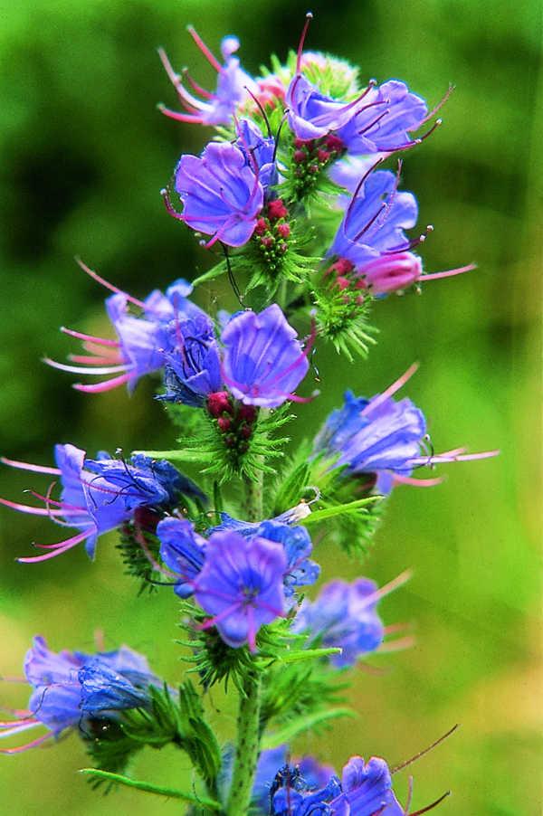 PHI Essences - Common viper's bugloss / Natternkopf