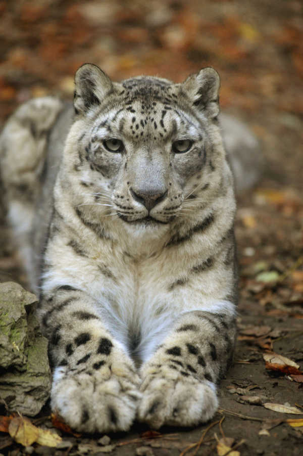 Phi Essences Leopard Des Neiges Schneeleopard